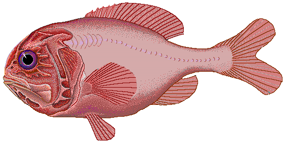 Orange roughy