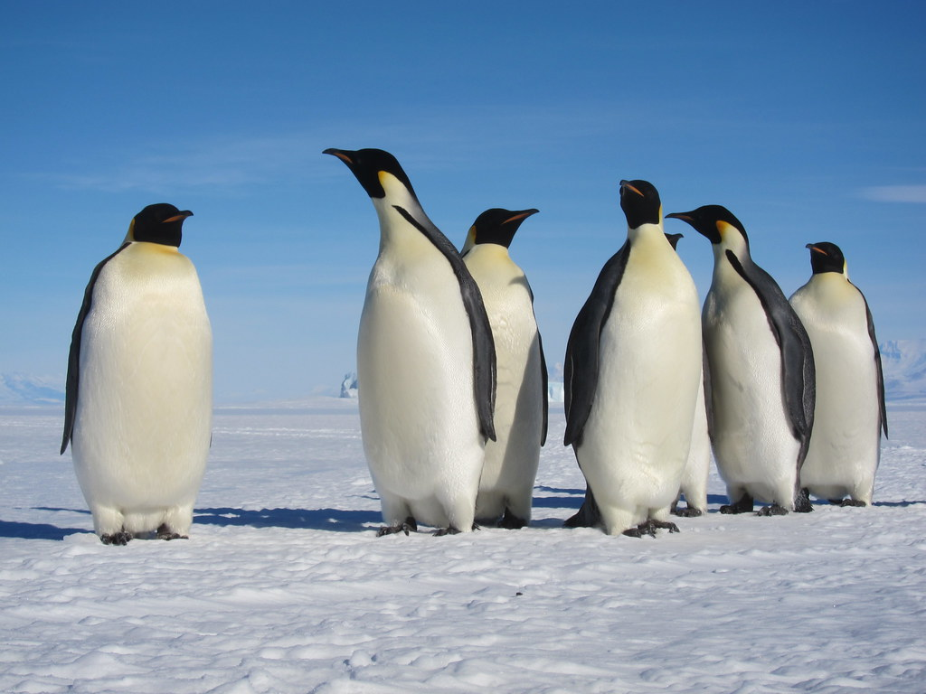 emperor penguins, © sandwichgirl, Novembre 2011, CC-BY-NC-ND 2.0